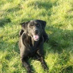 Lost dog on 28 Oct 2012 in westmeath. black labrador 6 years old male missing from the athlone area since 28th of october. He is all black with some grey around his mouth. if anyone has found him could you please contact me on 0872972227. reward offered
