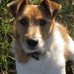 Lost dog on 28 Oct 2014 in Nohoval/Oysterhaven Co. Cork. Missing 5 yr old Jack Russell/Cross with Long Legs & stump of tail. White & brown.Very friendly, family pet.