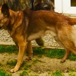 Lost dog on 28 Oct 2015 in Blessington lakes area, Wicklow. Half size Alsatian/border collie cross with tan/black colouring typical of Alsatian and a black nose with grey chin