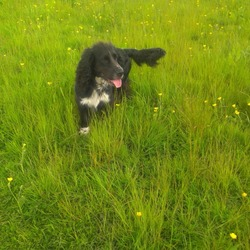 Lost dog on 28 Oct 2015 in Santry. Black spaniel answers to the name Rocky
