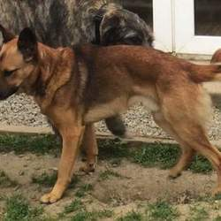 Lost dog on 28 Oct 2015 in Wicklow. Tan German Shepherd cross went missing from Tulfarris estate Blessington Wicklow on Wednesday with a black German Shepherd cross