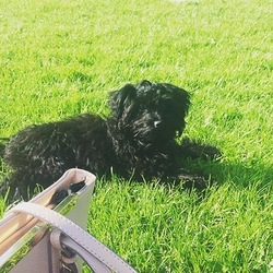 Lost dog on 28 Oct 2017 in Blackrock, Dublin. Our gorgeous black yorkiepoo ran from our garden in Blackrock, Dublin last night probably due to fireworks. Answers to Charlie.