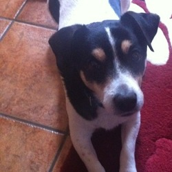 Lost dog on 29 Apr 2013 in Clontarf/killester/donnycarney . White and black jack Russell with blue collar. Has 2 brown spots above eyes