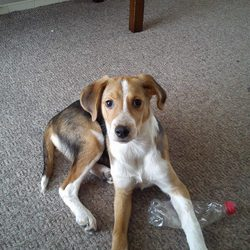 Lost dog on 29 Apr 2014 in Clondalkin area. 7 month old male dog. Black/tan and white. Beagle/pointer cross. Went missing from the Corkagh park, Clondalkin while out walking. Very friendly and great with kids