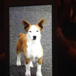Lost dog on 29 Dec 2014 in clare. Lost  female jack Russell missing in Bridgetown Co Clare area,