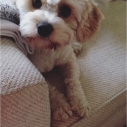 Lost dog on 29 Dec 2017 in Navan. 2yr old cavachon missing since Friday 29th Dec. Last seen between Donaghpatrick and Navan area in Meath. He is primarily white with apricot patches, Wearing two collars, one blue and one flea collar. He goes by the name of buddy. Reward offered!