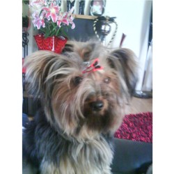 Lost dog on 29 Feb 2012 in whitechurch,ballyboden,dublin 16. 4 years old female york terrier called Busha.  black and brown colour. Went missing on 29th February 2012. Please call 0851704003