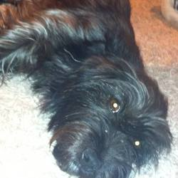 Lost dog on 29 Jul 2013 in Castlewarden Co.Kildare. Carin Terrier,Black with grey going through coat slightly. Red collar, 3yeras old, Spayed