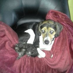 Lost dog on 29 Jul 2014 in Crosshaven, Cork. medium sized , black white and brown male neutered and chipped male dog. 8 years old wearing black collar, Ran off in cruachain woods in crosshaven last night at 98.30pm. Loved family pet, any information to maria & skye on 086 366 3515. REWARD