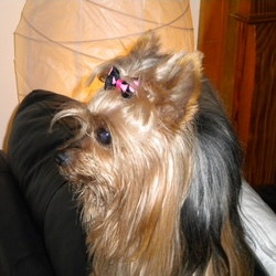 Lost dog on 29 May 2013 in Dublin 15. Nika is a female miniature Yorkshire Terrier (tan, long hair), 8 years old, went missing on the 29th of May in Blanchardstown, Dublin 15 (Hartstown Park).   