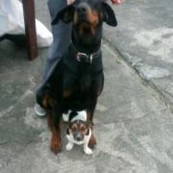 Lost dog on 27 Nov 2012 in limerick. MISSING Our black doberman male age 3 answers to Rocco  Kilmallock, Co. Limerick area.  Microchipped wearing a black collar. If anyone sees him please contact me immediately on 087 6734262. Desparately want him home