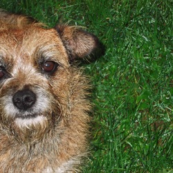 Lost dog on 29 Nov 2013 in West Cork. Our border terrier Nancy went missing from our home near Rosscarbery, Co Cork on 29 November. Very nervous. Much missed. If you have seen her, please ring 087 2425966