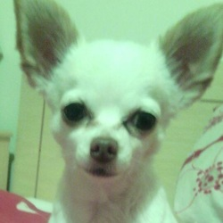 Lost dog on 29 Oct 2015 in Drimnagh. 8 year old female chihuahua dog lost in drimnagh area. Please contact Gavin at 0870519078