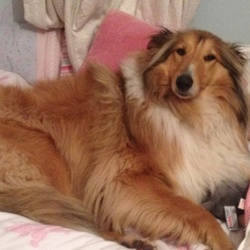 Lost dog on 29 Oct 2015 in Shankill Dublin. Rough collie Lassie type very much loved family pet. Missing from house 29 oct between 7-9pm. Phone/text 0861653613