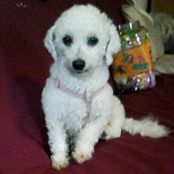 Lost dog on 29 Oct 2016 in Attymon, Athenry, Galway. Missing female bichon frise. Not neutered. Wearing a pink harness. Likely with a male black sheep dog with white chest. Please call 0858209270 if spotted.