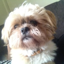 Lost dog on 29 Sep 2012 in clondalkin . 2 year old shih tzu name leo lost in the bawnouge area on wed 26th sept .....tan and white