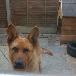 Lost dog on 29 Sep 2012 in Lucan. 3 years old male,German Shepard black and tan ,more tan then black,wearing a metallic collar.If find please ring Crina 0871973960