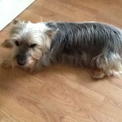 Lost dog on 30 Apr 2014 in Ballinteer, Dublin 16. Old black tan and grey Australian silky terrier, eyesight not great and quite deaf, contact 086 0666318