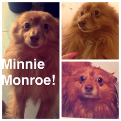 Lost dog on 30 Apr 2015 in Blanchardstown. Pomeranian/spitz female dog missing from the Clonsilla/Blanchardstown area today.