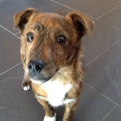 Lost dog on 30 Apr 2016 in Killorglin. Small brown male dog found   close to Mountain View, Killorglin,Co. Kerry.Very friendly. Looking for owner as he has not been microchipped or tagged.