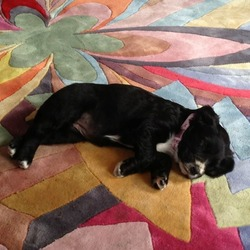 Lost dog on 30 Aug 2013 in Ballybrophy Laois. Cocker Spaniel black with white nose. 8 weeks old gone missing from Ballybrophy Laois area.