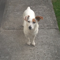 Lost dog on 30 Aug 2014 in DUBLIN. JACK RUSSELL CALLED JESSE SHE IS WHITE WITH ONE BROWN EAR THE OTHER EAR IS WHITE WITH BROWN SPOTS PLEASE CONTACT STEPHEN ON 0872354452. SHE LIVES IN KNOKLYON