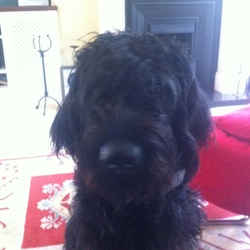 Lost dog on 30 Aug 2014 in Tullamore Co Offaly. Black labradoodle with a collar and a shock collar. Missing since Saturday the 30th of August. Responds to scruffy.