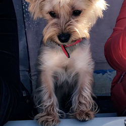 Lost dog on 30 Aug 2017 in Citywest/Saggart. Female Yorkishire Terrier.  Has red collar on shoulders. Young, small. Her name is Tosya. Cash reward will be given.