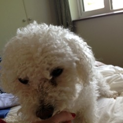 Lost dog on 30 Jun 2013 in Ballincollig, Co.Cork. Bichon Frise Named HOLLY 3.5 years - Stolen from Car in Quish's Supervalue Carpark Ballincollig, Co,Cork-this morning, Sunday 30th June - between 9.20 & 9.25 am - Micro Chipped & Spayed