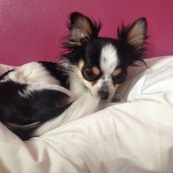 Lost dog on 30 Jun 2015 in Killarney. My dog has gone missing from Ballyspillane in Killarney this morning at 11.30am.  Male chihuahua, 2 years old, neutered. Black White and brown colouring Nervous of people so may run away. please please help me find him!!!