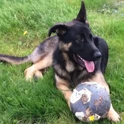 Lost dog on 30 Mar 2017 in Ballyturn, Gort, Galway. German Shepherd, a year old. Black coat, golden paws, one floppy ear.