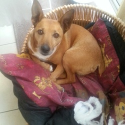 Lost dog on 30 May 2015 in Dublin 24. 9yr old male jack Russell lost in ballycullen/Firhouse area on Sunday May 30th. He is light brown/tan all over with some white patches down his neck and front. He has a short tail but is bigger than most other jack Russell dogs. He had no collar when he went missing but is microchipped