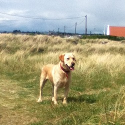 Lost dog on 30 Nov 2014 in Clontarf, Dublin. golden labrador,