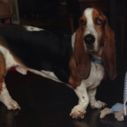 Lost dog on 30 Oct 2014 in Chapelizod. Missing basset hound called Ziggy from the Chapelizod area. Please call Gillian on 086 3891624