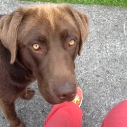 Lost dog on 30 Oct 2014 in lucan finnstown area. chocolate lab lost in park yesterday brown collar yellow eyes only young