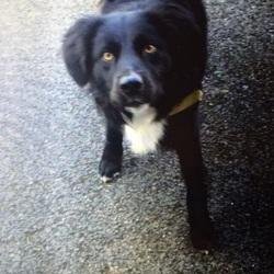 Lost dog on 30 Oct 2016 in Seneschalstown. Black collie x lost