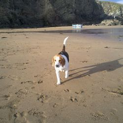 Lost dog on 30 Sep 2012 in Douglas, Cork. Toffee, tri colour Beagle, missing from Douglas, Shamrock area. Male, approx 1.5 years old. He is chiped. If find please ring Patrycja, 0857585804