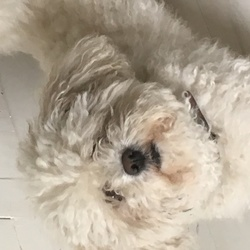 Lost dog on 30 Sep 2017 in Dun Laoghaire. Small white cavachon male, neutered and microchipped. Reward for safe return - lost on Killiney hill
