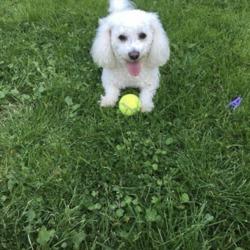 Reunited dog 30 Sep 2017 in MK41 9PA. Withe Bichon bolognese very frendly name SASHA  PLEZ HEPL
