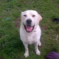 Lost dog on 31 Dec 0012 in Shercock Co.Cavan. Golden Labrador.His name is Benjie,He's 14 months old.Went missing from Shercock Co.Cavan. If anyone knows anything please ring Daragh 0872425273.