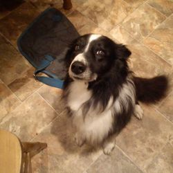 Lost dog on 31 Dec 2013 in co louth. black collie dog missing since new years eve from  co louth.if found please contact me on 0877946523,we really miss him so much