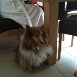 Found dog on 31 Jan 2013 in Hollystown, Dublin. Female Shetland Sheepdog.  Spayed.  Aged 13 years.  Small with white, tan and some black colouring.  Loved family pet who is missed.