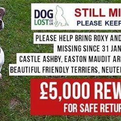Lost dog on 31 Jan 2017 in   Northants, UK. Two Parsons jack Russell's stolen.
