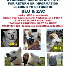Lost dog on 31 Jul 2015 in North Yorkshire England. Two male neutered husky X German Shepherds. Missing from North Yorkshire 21/11/14