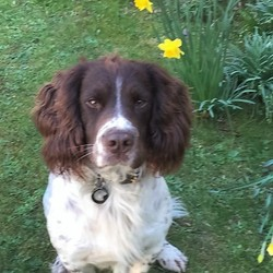 Lost dog on 31 May 2017 in Tyrrelstown D15. Young (3yr) Springer Spaniel Liver (Brown)& White, Male chipped with our phone number on leather collar. 01-8213206