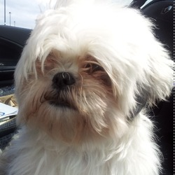 Lost dog on 31 Oct 2012 in Doughiska, Galway. Holly is a female 5yr old white and honey Shih Tzu. She went missing from Doughiska near Dunnes in Briarhill Galway on Halloween night 2012.