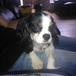 Lost dog on 31 Oct 2012 in Mallow Cork. LOST - SMALL KING CHARLES (Mallow, Cork)