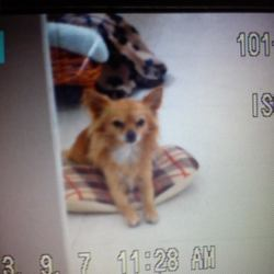 Lost dog on 31 Oct 2013 in Cappataggle, Ballinasloe, Co.Galway.. Male Chihuahua. Missing since Halloween night at roughly 11:15 pm. Fawn in colour with a white chest. Answers to the name Marley. Any information would be greatly appreciated.