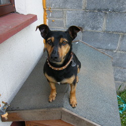 Lost dog on 31 Oct 2013 in Naas, Kildare. Black and Tan JackX called ZAC