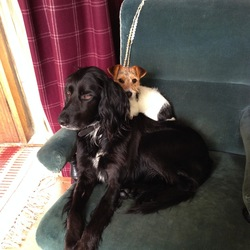 Lost dog on 31 Oct 2014 in Blessington-Crosschapel/Redbog. JASPER-black setter/pointer cross age 6-white on chest. CHARLIE-longhaired terrier cross almost 1yr, ginger face, white body with black spot. Both microchipped and collars with ID tags. Desperately missed.